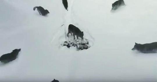 У этих волков – человеческая душа. Видео, которое потрясло почти весь мир!