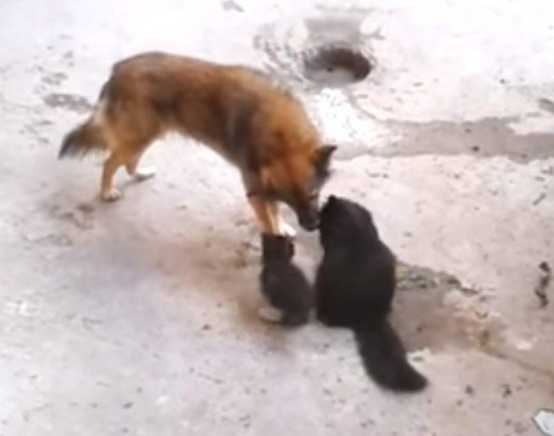 Кошка привела котят в гости к другу-собаке. Встречу трогательнее сложно представить!