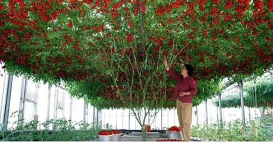 Потрясающее помидорное дерево, которое вырастили в Израиле.