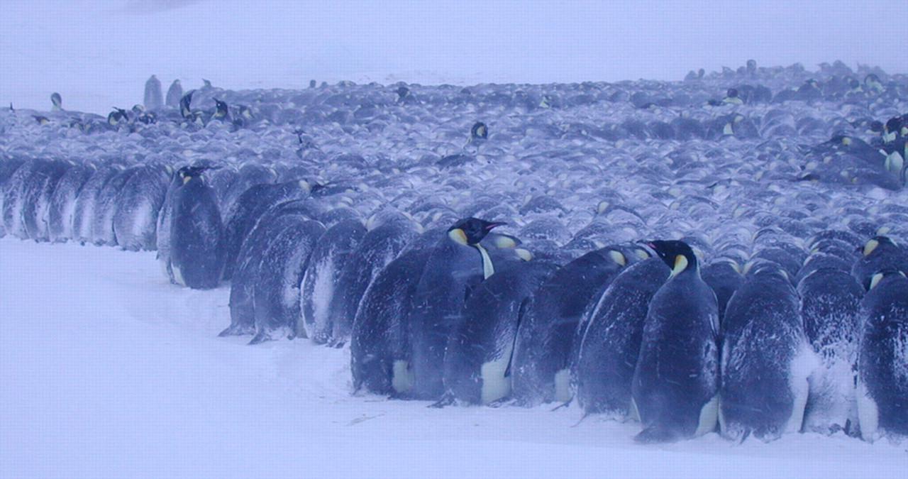 Маленький пингвинёнок замерз. Посмотрите, как он забавно решил погреться (Видео)