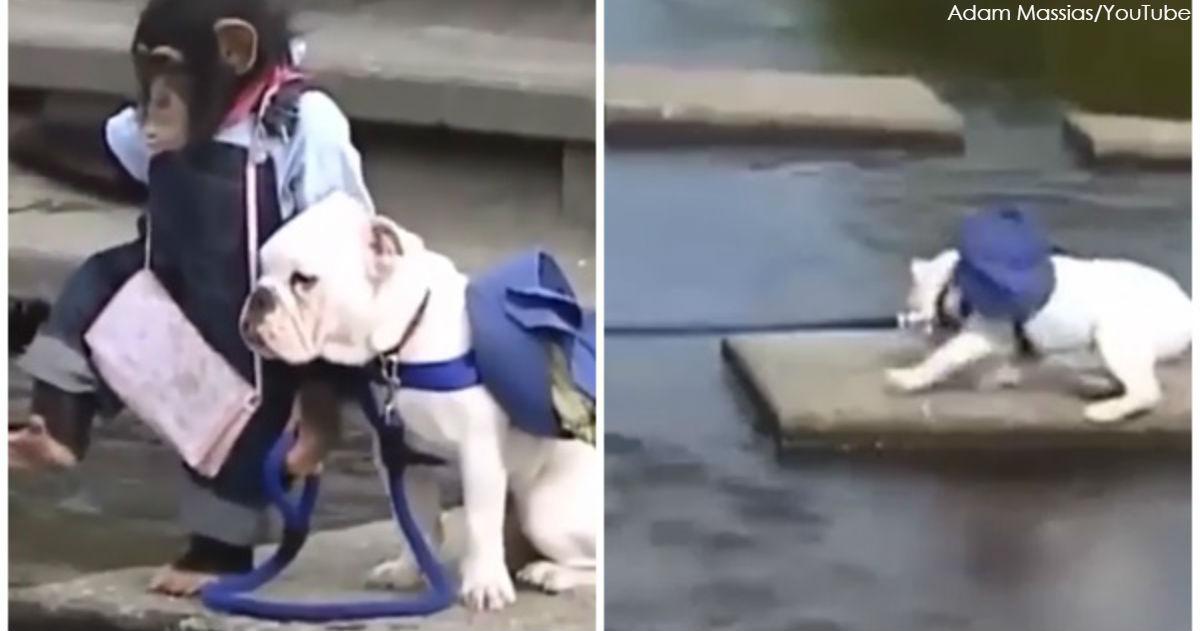 Смотрите, как собака и обезьяна форсируют реку! Это очень смешно