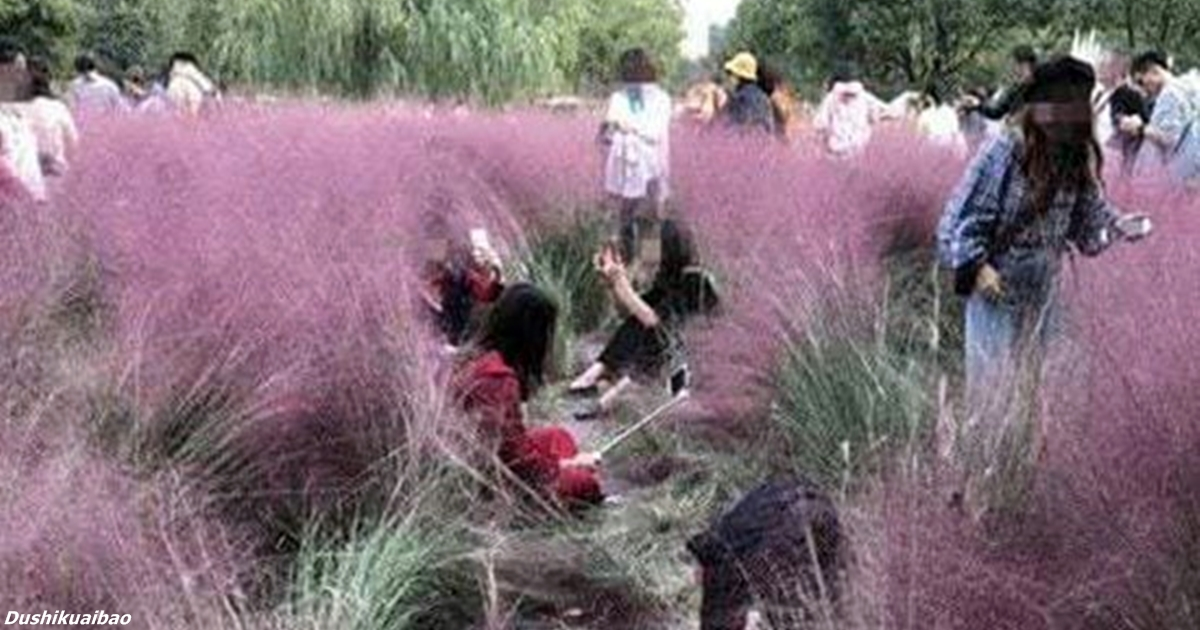 Туристы уничтожили поле розовой травы - так хотели сделать идеальное селфи