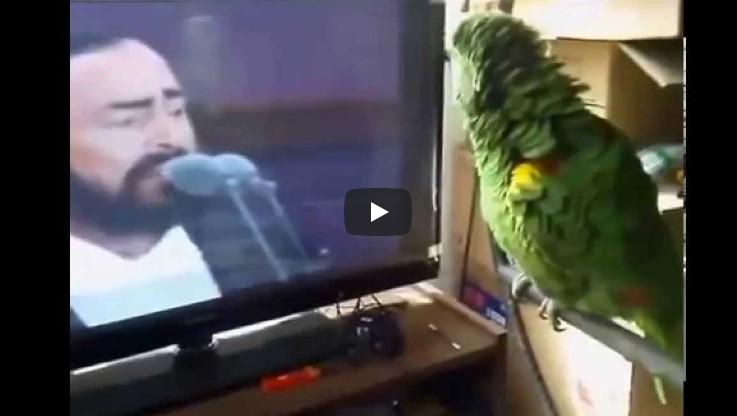 Попугай увидел видео с Лучано Паваротти. Дальше все открыли рты!
