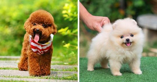 10 самых маленьких пород собак в мире, которых сложно найти, легко потерять и невозможно не любить