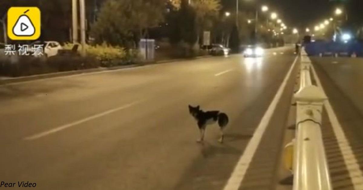 Собака в отчаянии просидела 80 дней на месте, где погиб ее хозяин