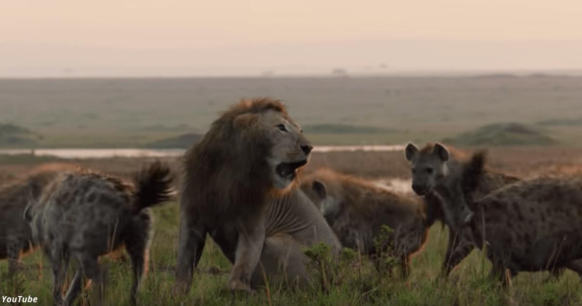Лев поблагодарил друга за помощь, когда на него напали 20 гиен. Видео