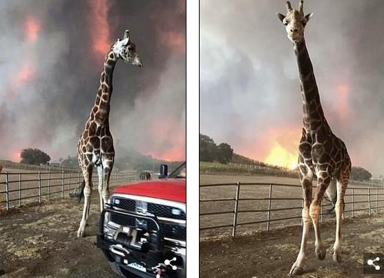 Душераздирающие фото животных, которым удалось выжить во время лесных пожаров в Калифорнии