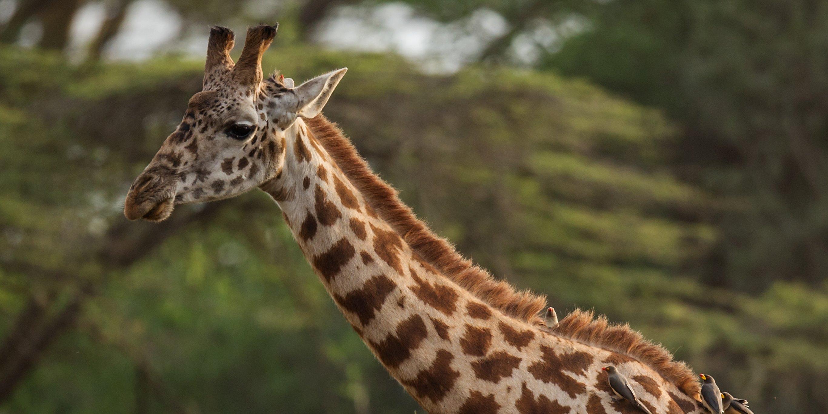 Жирафы только что попали в список животных, которым грозит вымирание