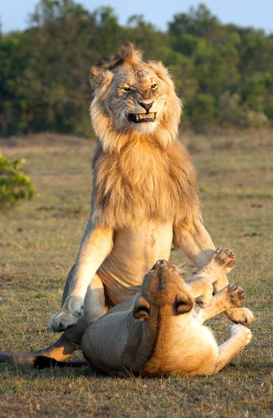 Смотрите, как сильно доволен собой лев, который только что овладел львицей