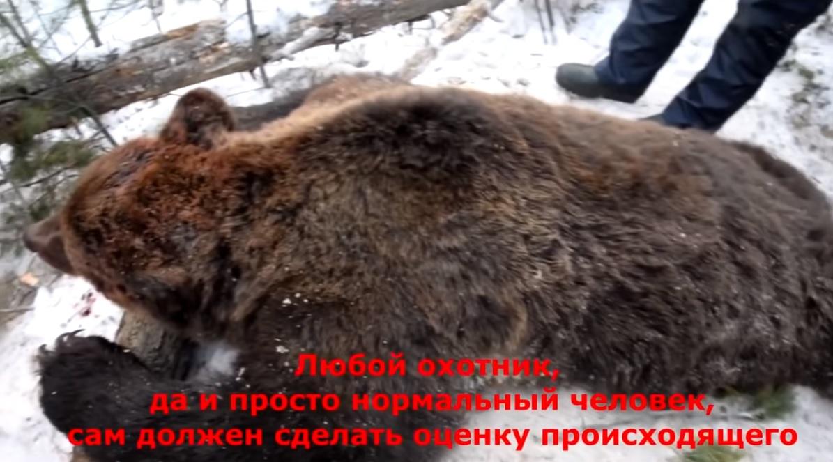 Иркутский губернатор застрелил на охоте спящего медведя. Есть даже видео