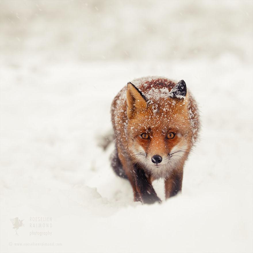 Фотограф показал, как первый снег встречают лисицы