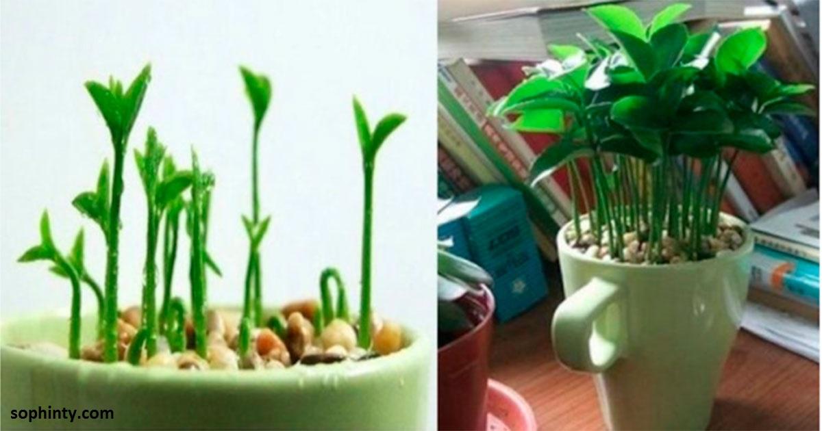 Вот как вырастить лимон в чашке   чтобы дома всегда идеально пахло
