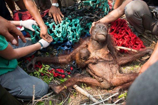 Тревожные кадры: Орангутан пытается отбиться от грузовика, уничтожающего его дом