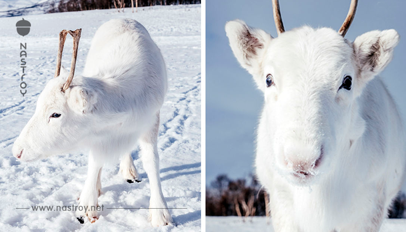 Ему удалось нечто: Редкий белый олень попал на камеру в Норвегии
