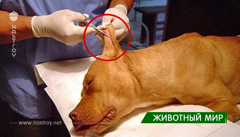 В Аргентине запретили обрезать уши щенкам. Считают, что так их ″калечат″