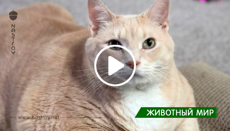 Они полюбили 15-килограммового кота и забрали его, чтобы помочь ему похудеть