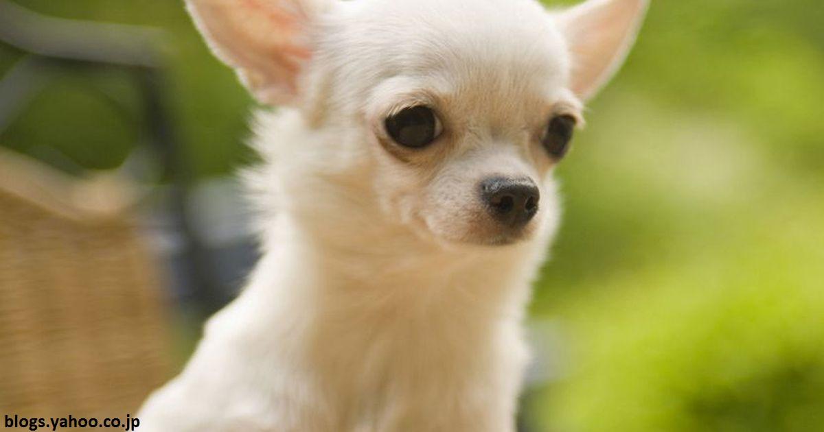 Почему собаки породы чихуахуа   такие агрессивные?