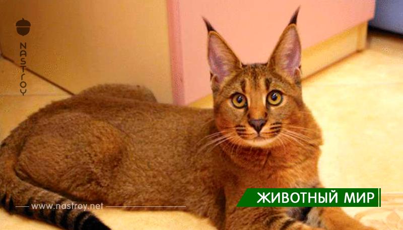 Играя в доктора Моро: каракет — самая дорогая и самая редкая порода кошек