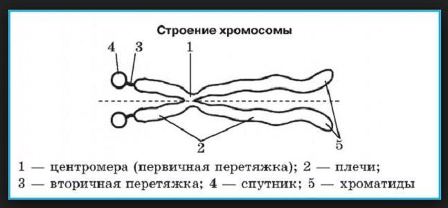 Гомологичные хромосомы: состав и функции