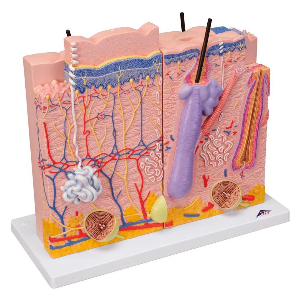 Какова роль кожи в терморегуляции организма человека