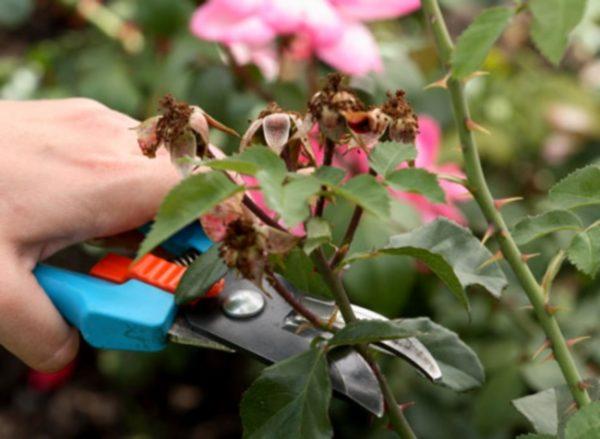 Как правильно обрезать кусты роз весной, что они не отцветали все лето