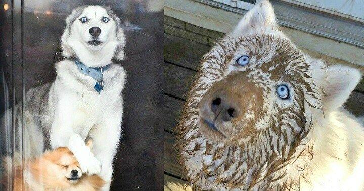 Хаски: собаки, которым весело. Фото о том, что шалить никогда не вредно