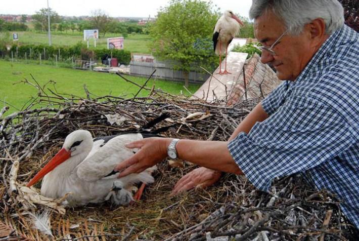 Верный аист уже 15 лет летает по 13 тысяч километров, чтобы увидеть свою раненую жену!