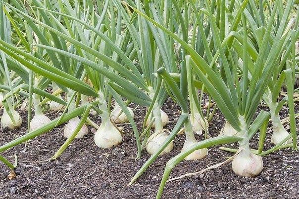 Как вырастить лук крупным и чтобы хранился долго