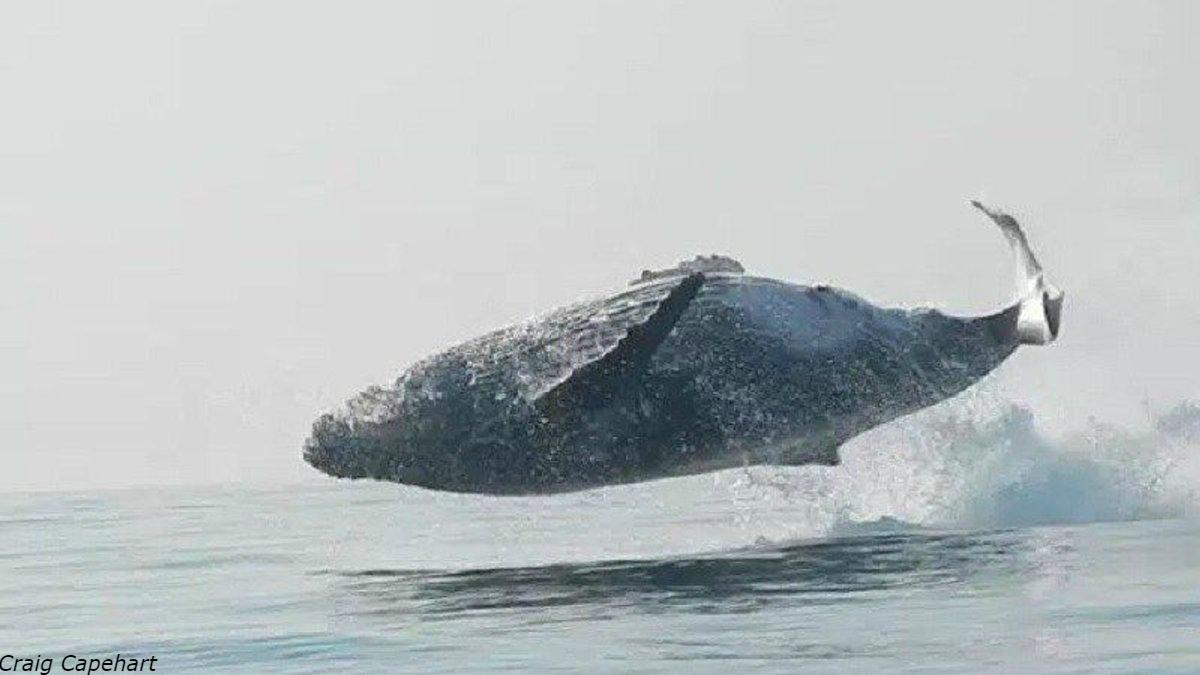 40 тонный горбатый кит целиком выпрыгнул из воды   и здорово напугал туристов