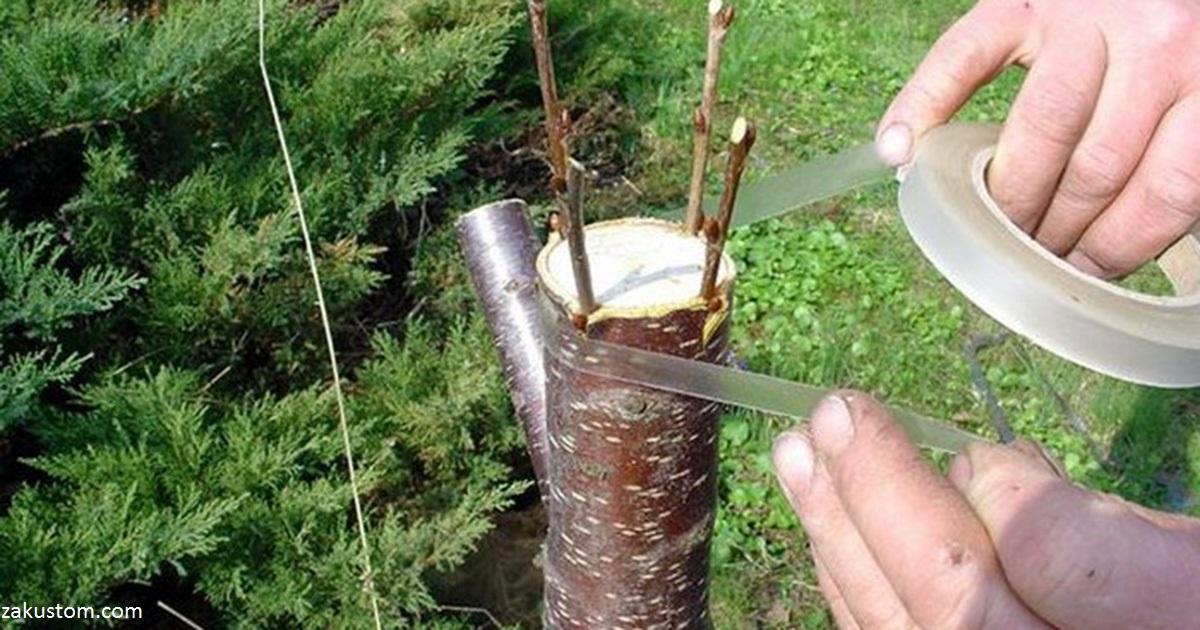 Дедовский способ прививки деревьев: урожай на даче вырос в 5 раз