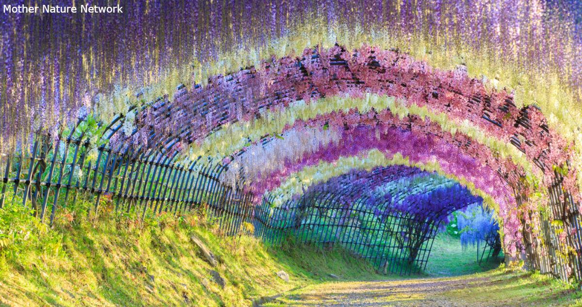 Этот цветочный туннель в Японии - самое романтичное место на Земле. Вот фото