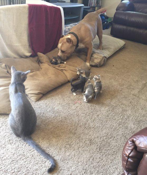 Питбуль из приюта хотел подружиться с кошкой, но она была против. И тогда его семье пришлось сделать это.