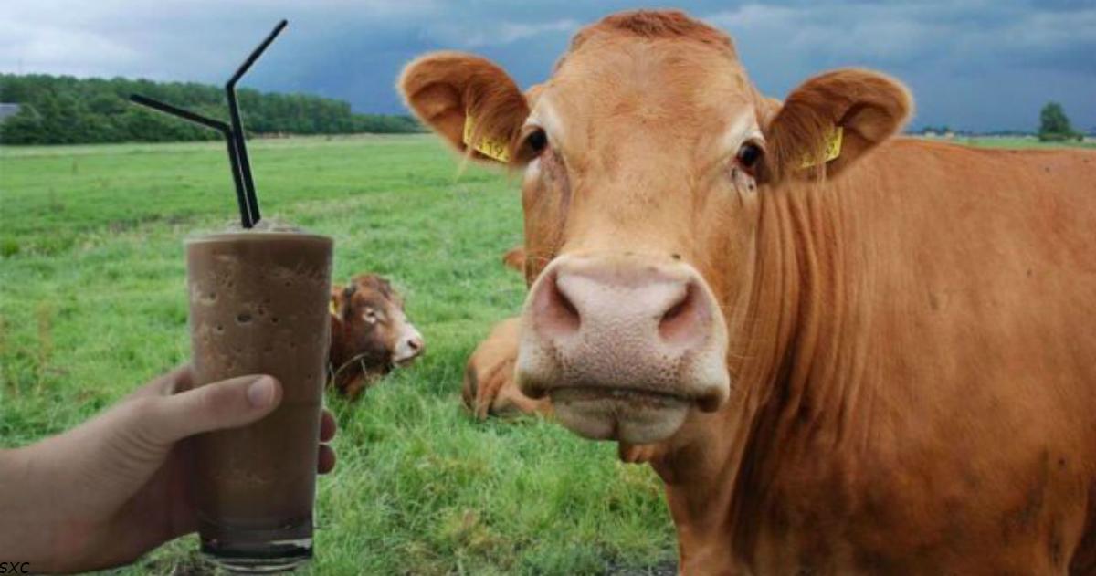 Миллионы американцев считают, что шоколад и какао дают бурые коровы