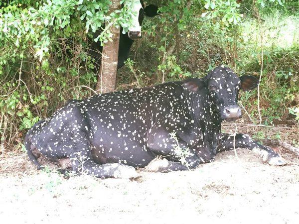Фиолетовая ″космическая″ корова родила малыша. Но он уже не такой