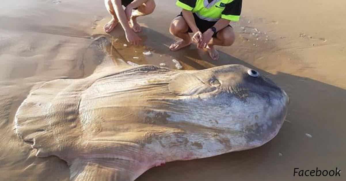 Гигантскую солнечную рыбу выбросило на пляж в Южной Австралии