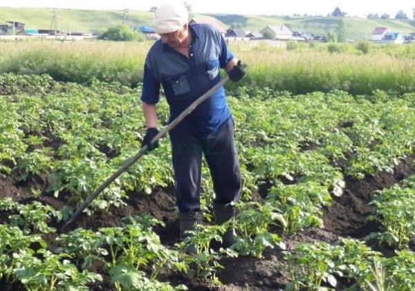 Китайский метод посадки картофеля обеспечивает потрясающую урожайность
