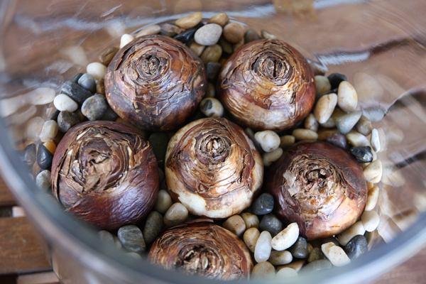 Действенный способ, как вырастить тюльпаны и нарциссы в вазе без почвы
