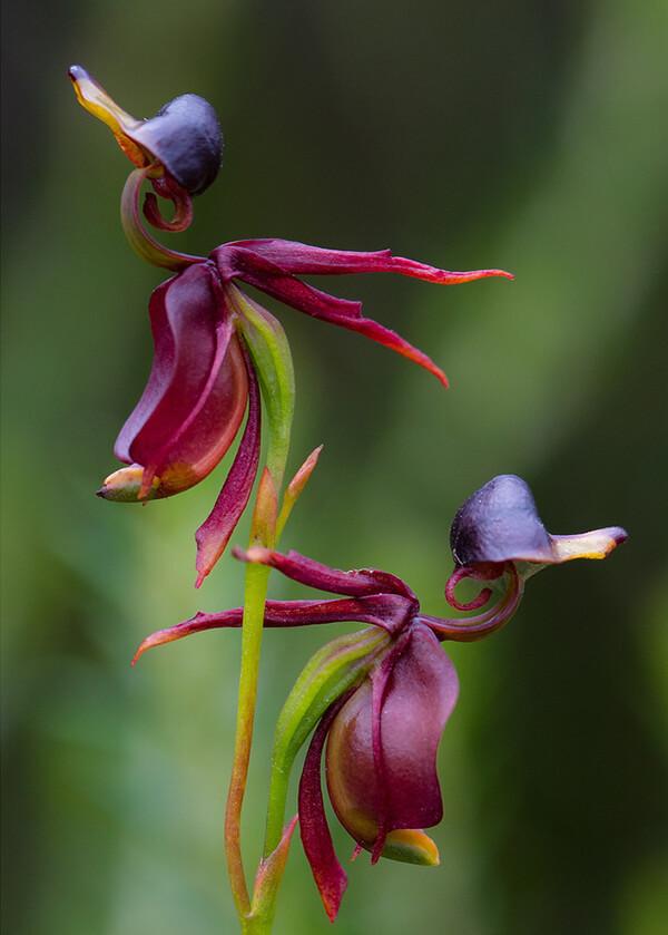 19 видов орхидей, которые выглядят не как цветы, а как что-то абсолютно другое