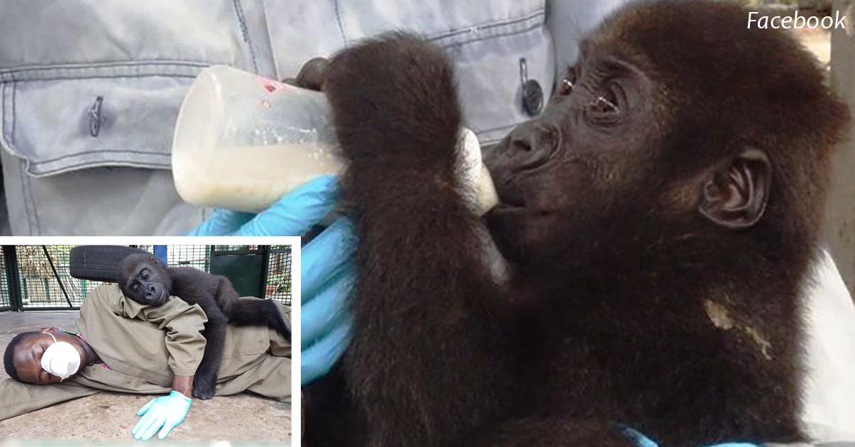 Малышка горилла потеряла маму   и теперь зависит от объятий этого мужчины