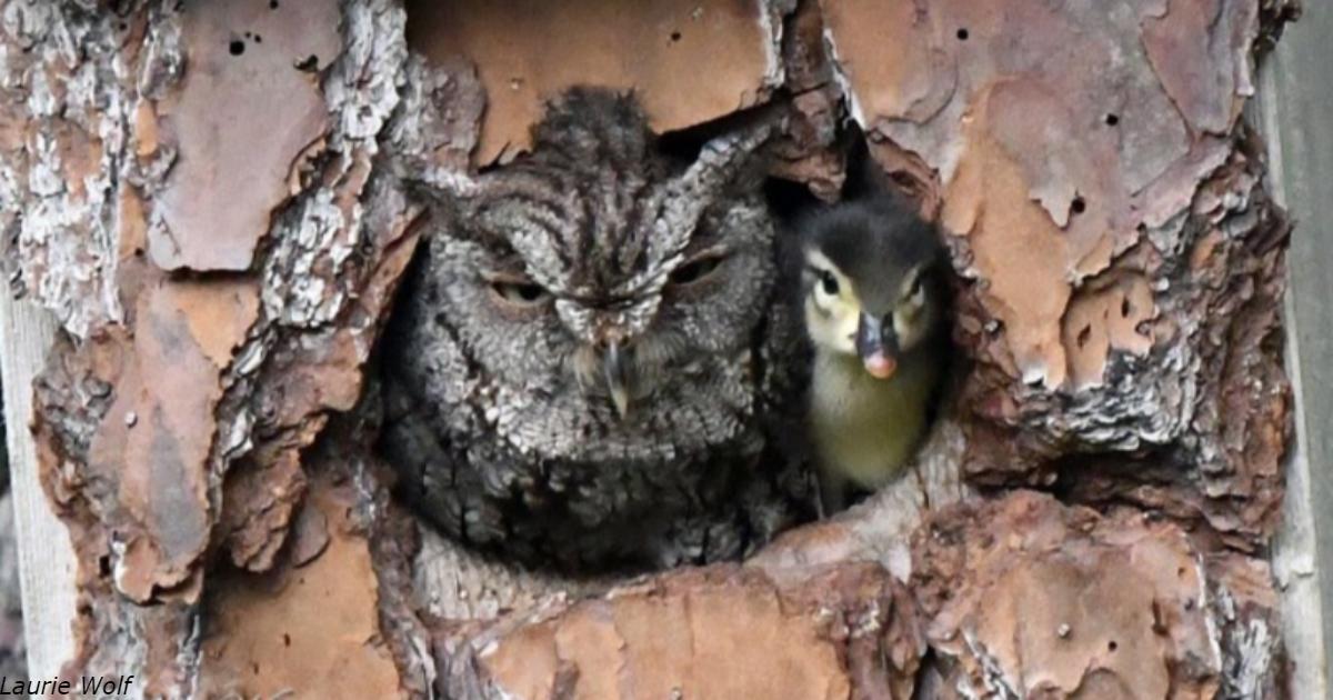 Фотограф нашёл дупло с совой, растящей утёнка