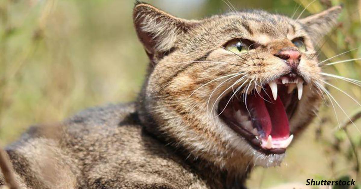 Почему Австралия объявила войну диким кошкам