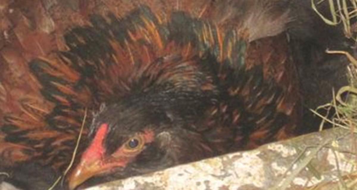 Курица стала прятаться от фермера, тогда он заглянул в гнездо и был поражен…