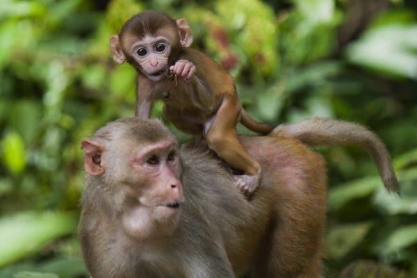 Китайские ученые внедрили гены человеческого мозга в обезьян