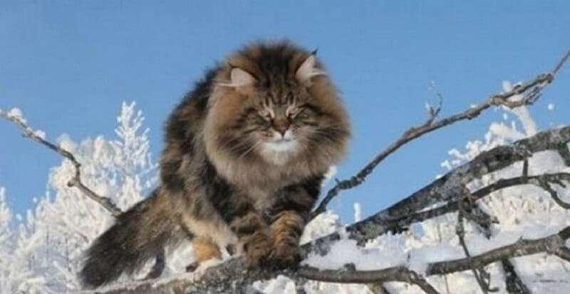 Фотосессия шикарного сибирского кота