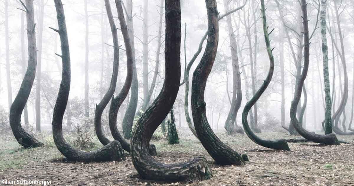 В Польше есть странный лес с кривыми деревьями. Никто не знает, как он появился