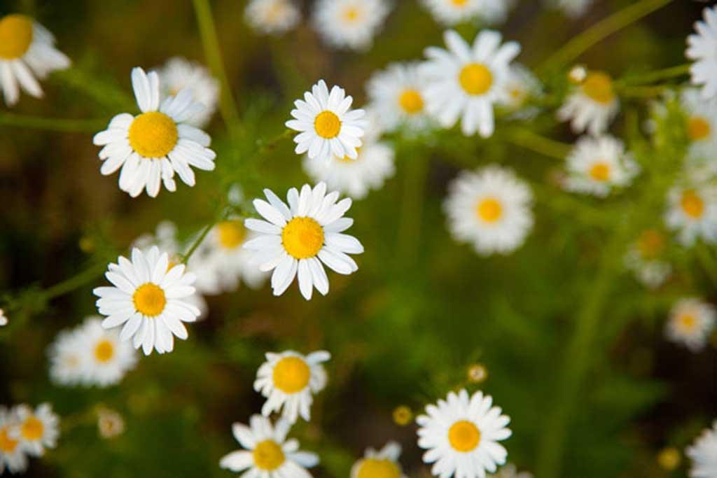 5 лечебных трав, которые можно вырастить в своём палисаднике