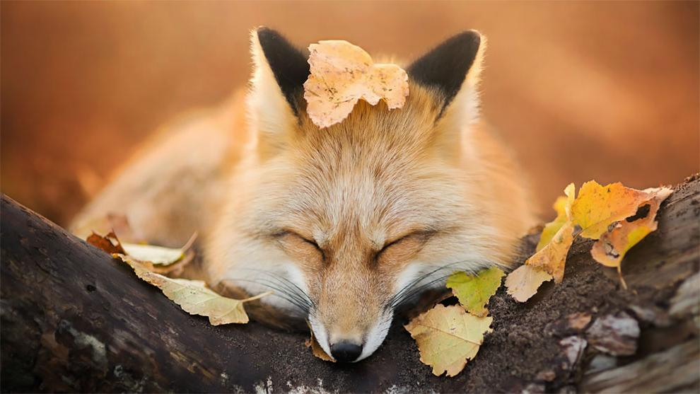 Любопытная лиса завязала дружбу с фотографом (фото)