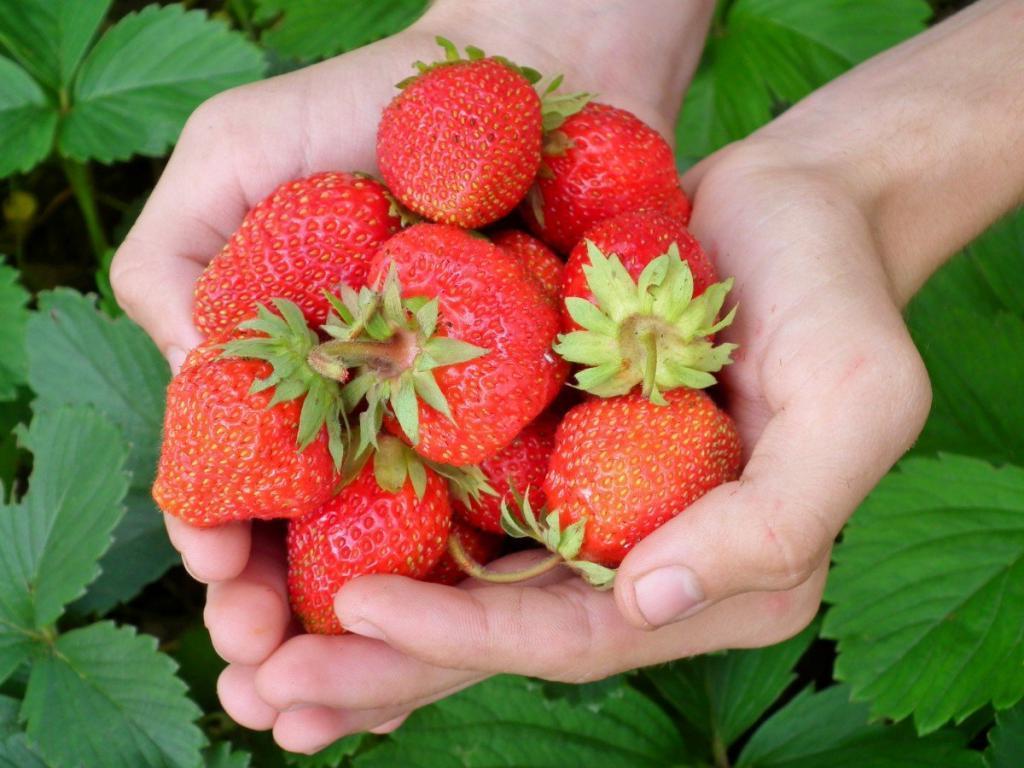 В преддверии сезона урожая: простые трюки помогут сохранить ягоды клубники свежими
