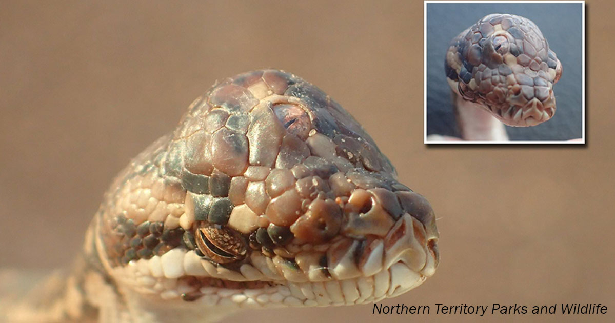 В Австралии нашли трехглазую змею. Только посмотрите!
