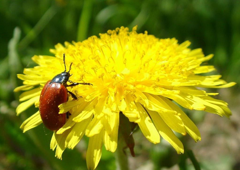Загадка для дачника: ничем не болеет, лечит огород и сам является подкормкой. Используем полезные свойства одуванчика в саду